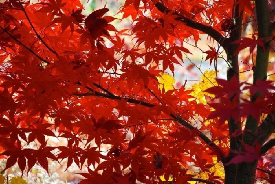 Sfaturi cu privire la artarii japonezi
