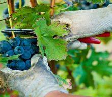 Vin natural de casa – cand e bine sa culegi strugurii?