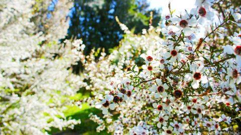 Proprietati benefice pentru mierea de manuka